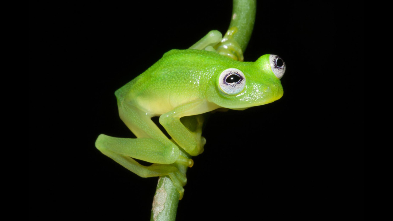 Diane's bare-hearted glass Frog