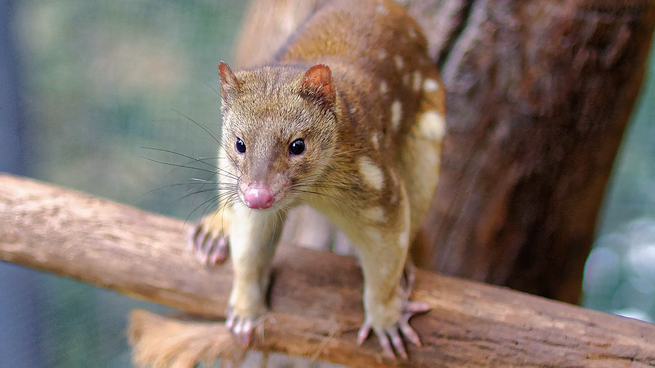 The Tiger Quoll